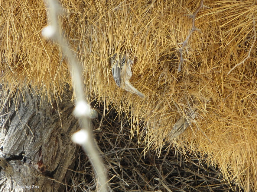 Sociable-weaver-in-nest-Kgalagadi.JPG