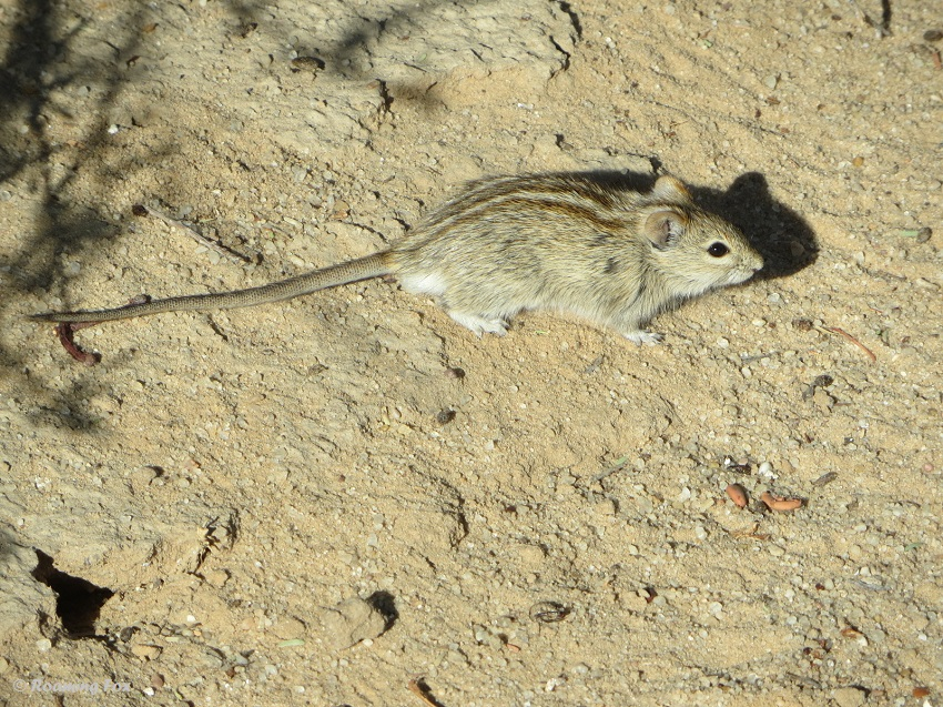 Four-striped-mouse-Kgalagadi-2.JPG