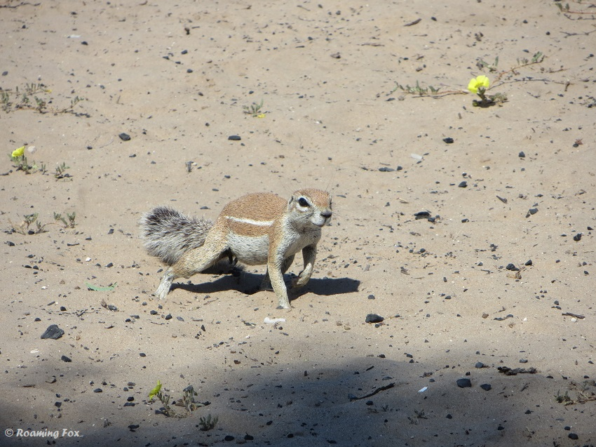 Ground squirrel love eating the yellow flowers
