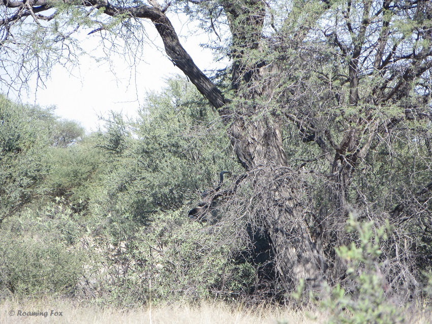 Can you spot the kudu?