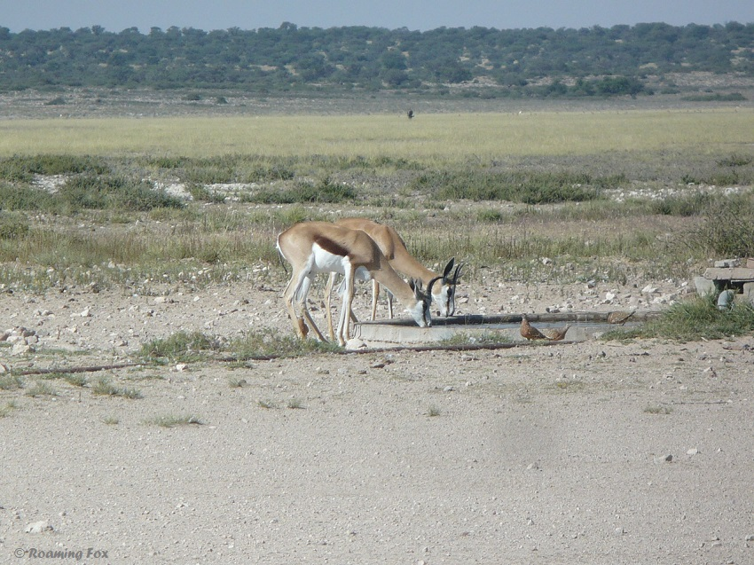 Springbok drinking at the waterhole