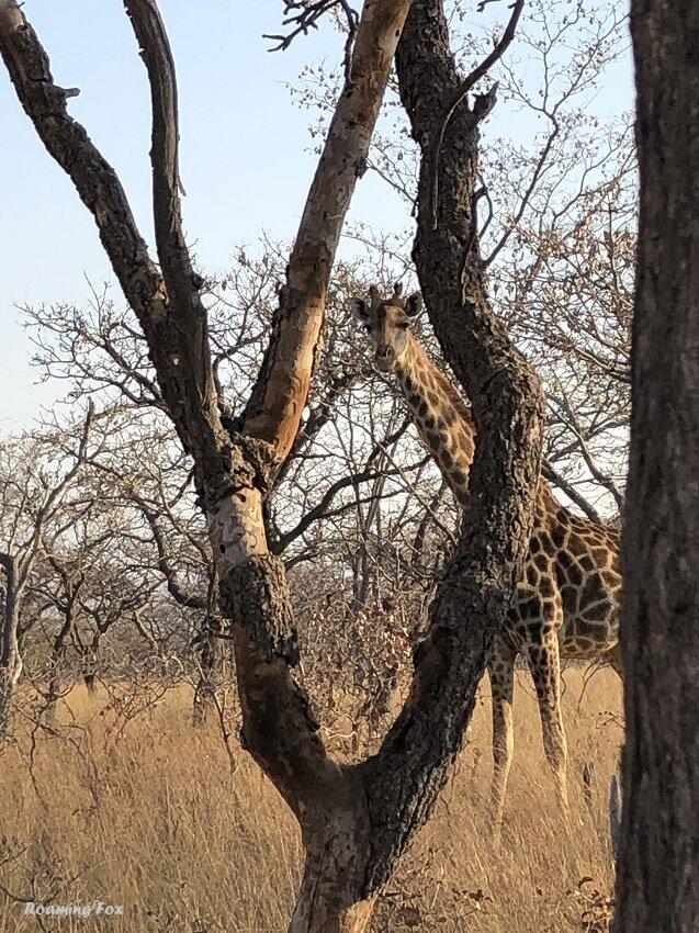 Giraffe Matamba Bush Camp