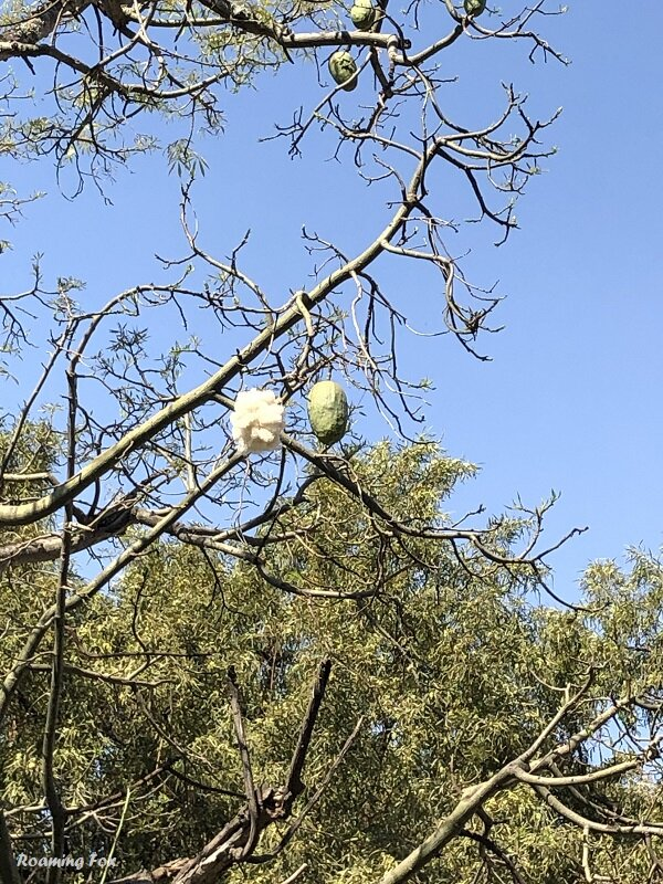 Seed pods in a Kapok tree