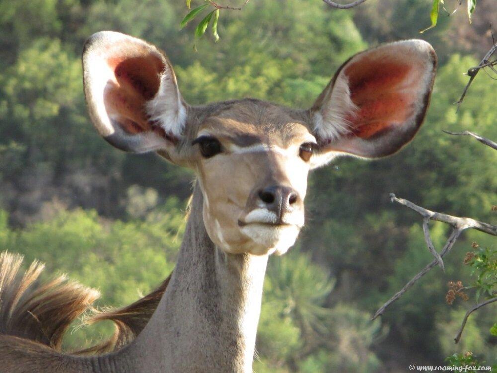 Kudu-Marakele