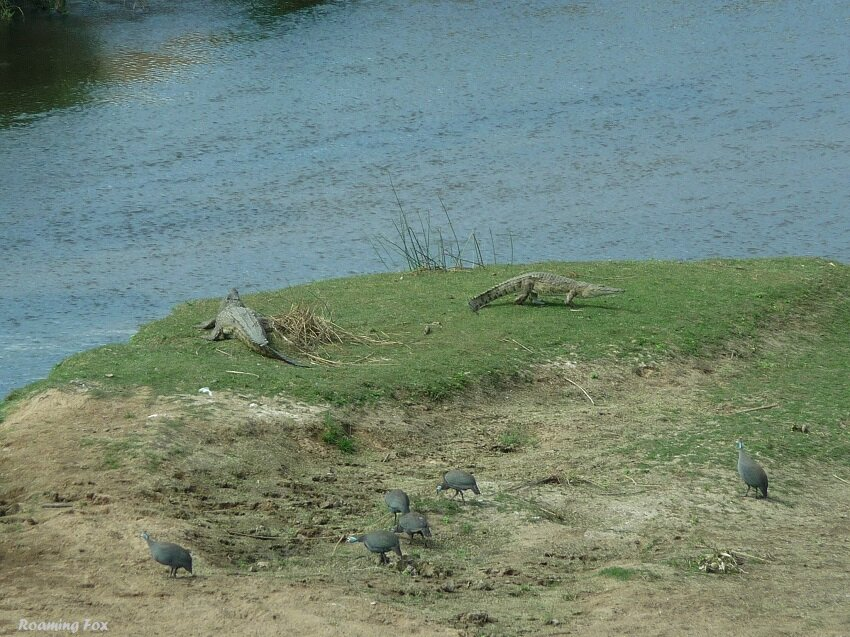 Crocodiles on the bank of the river