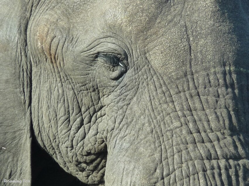 Elephant-closeup-2.JPG