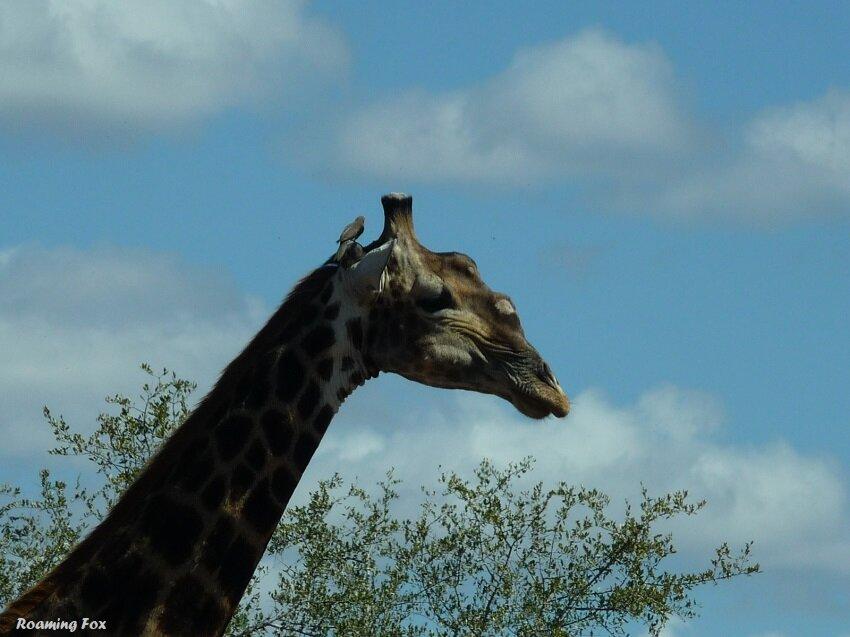 Giraffe with oxpecker.JPG