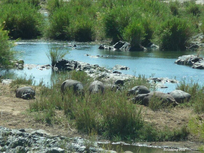 Hippo at river
