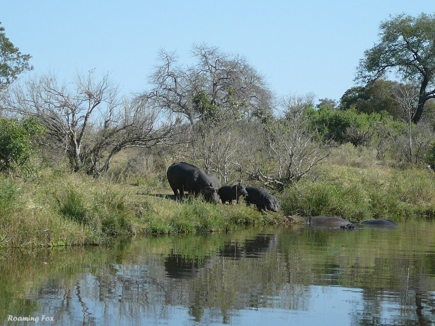 Hippo on bank of river.JPG