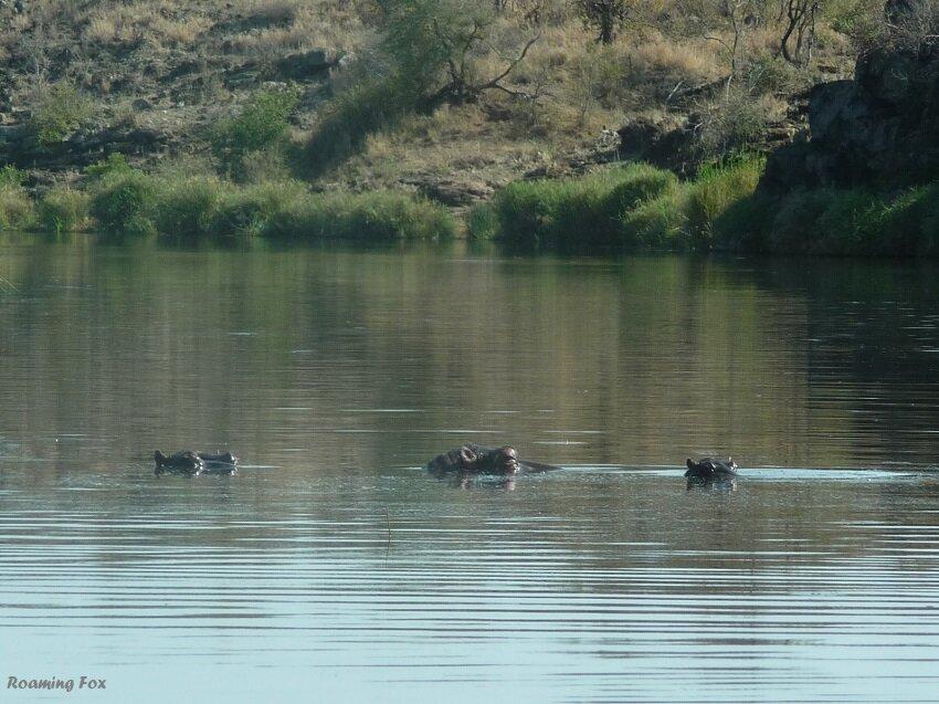 Hippo in river.JPG
