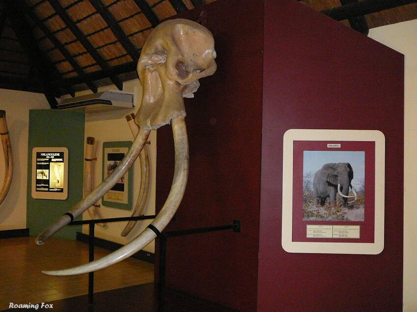Elephant skull and tusks at Letaba Rest Camp