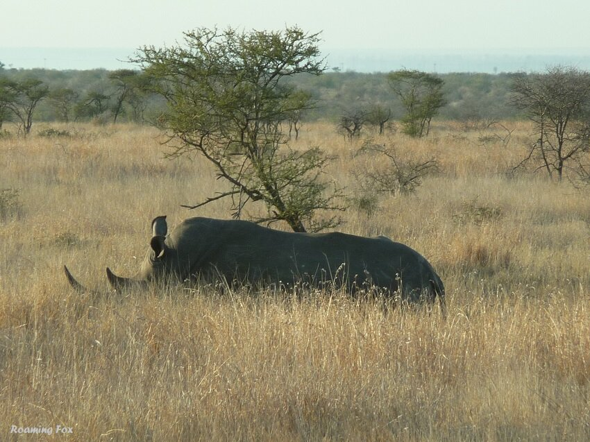 Rhino lying in grass