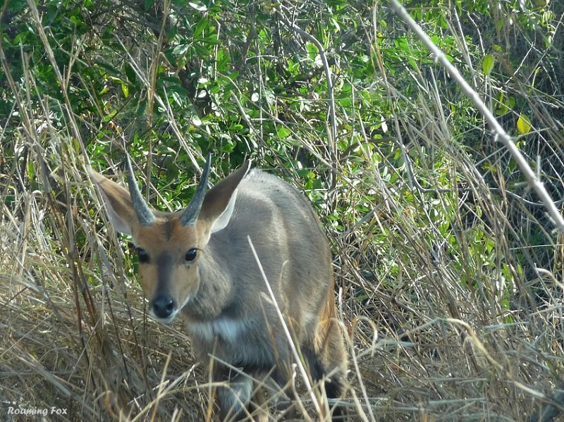 Small antelope - steenbok