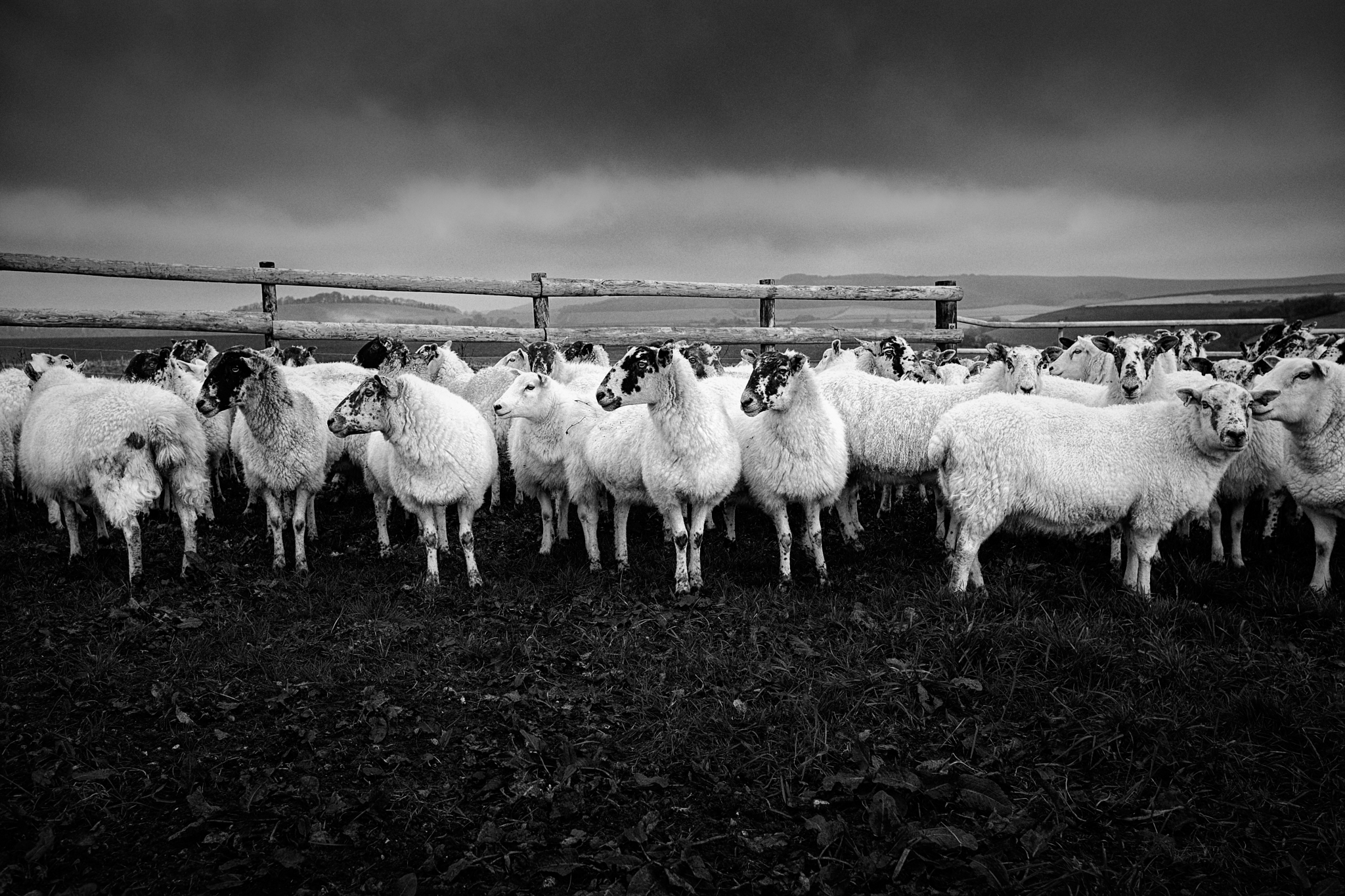 A flock of sheep on Mere Downs, Wiltshire