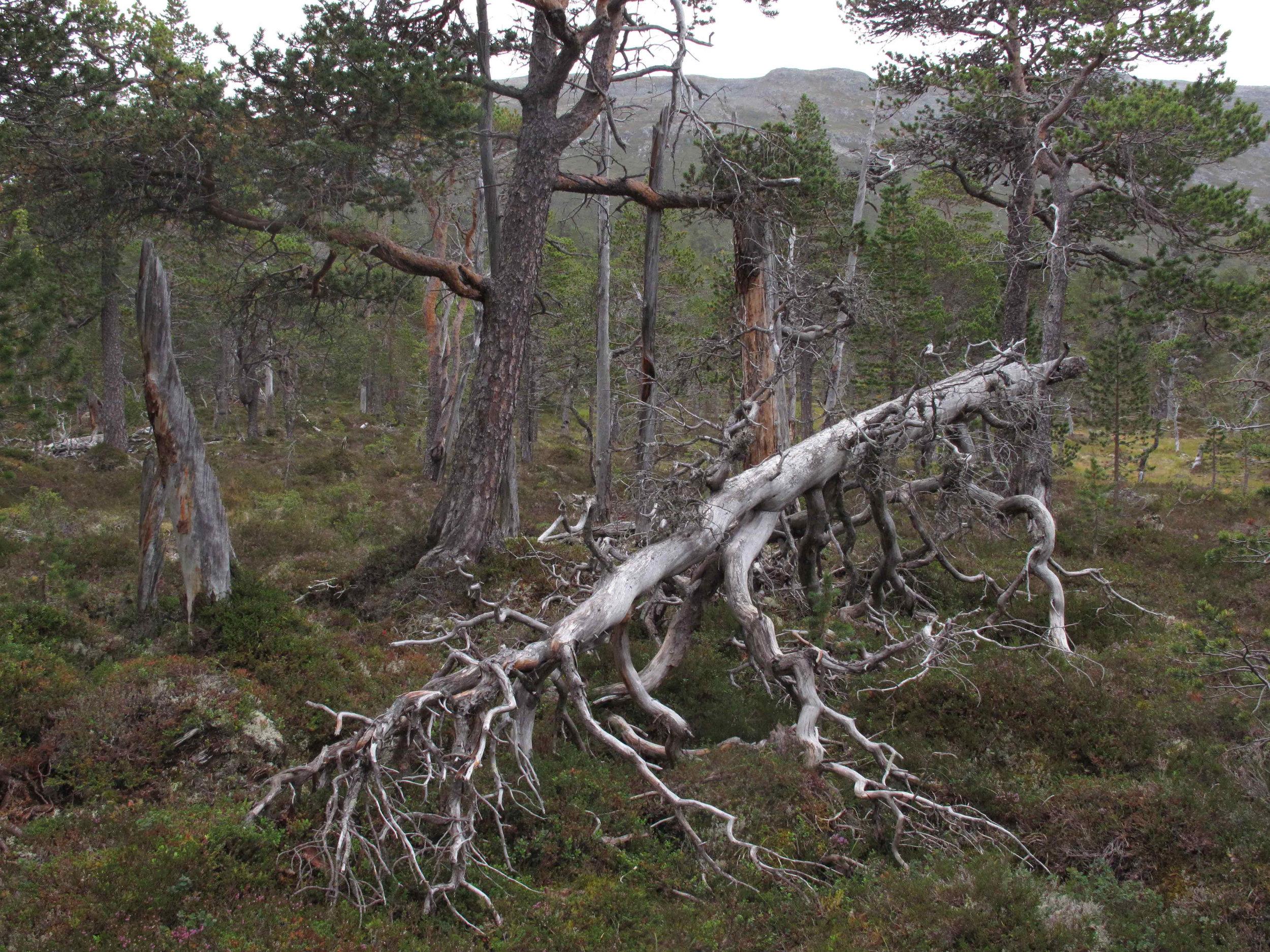- Ekte urskog -