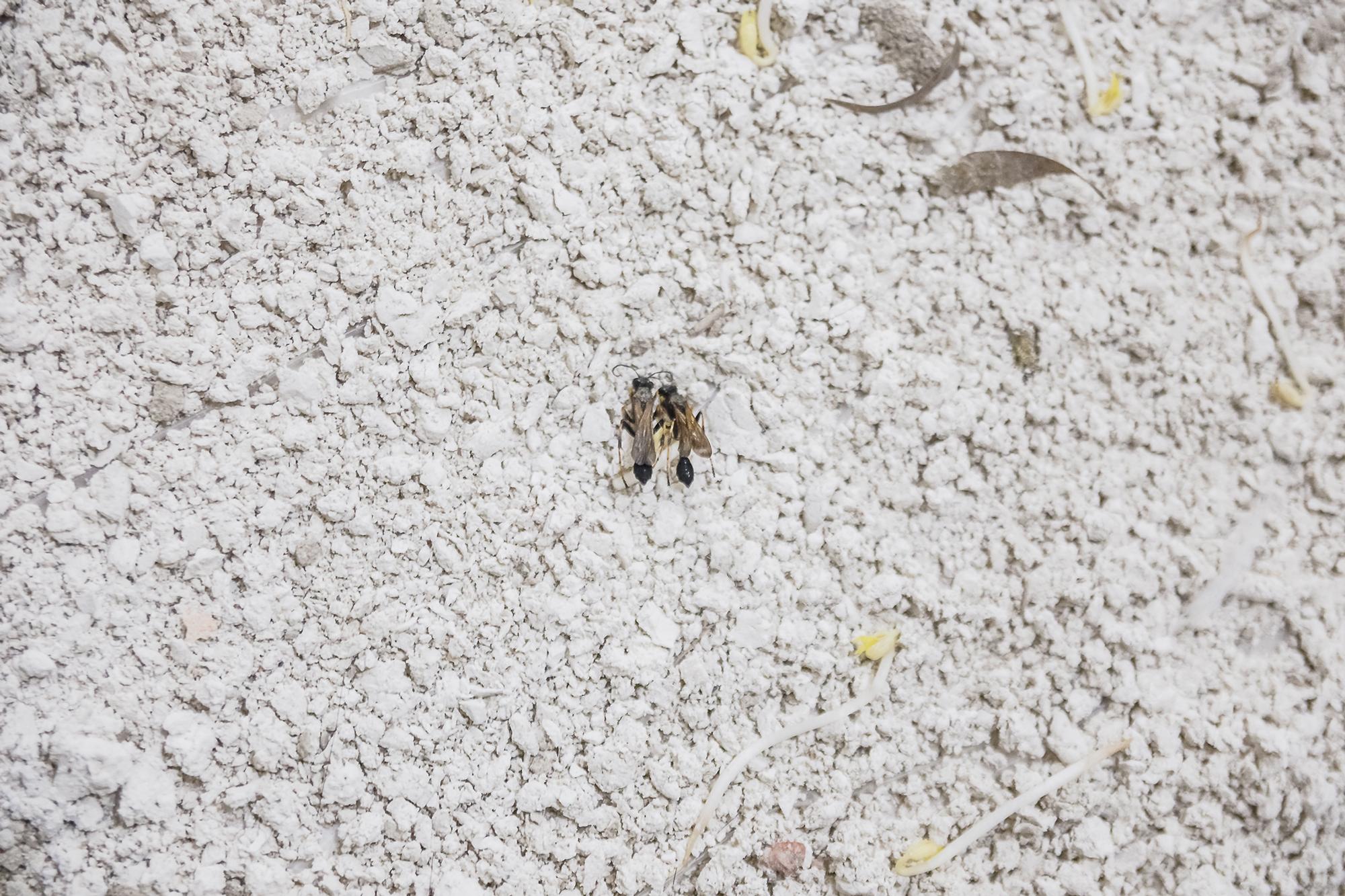 il chiaritoio,  mud wasps, travertine dust, sprouts