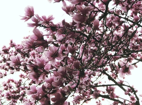 In Nashville, the magnolias are in full bloom at the moment.
