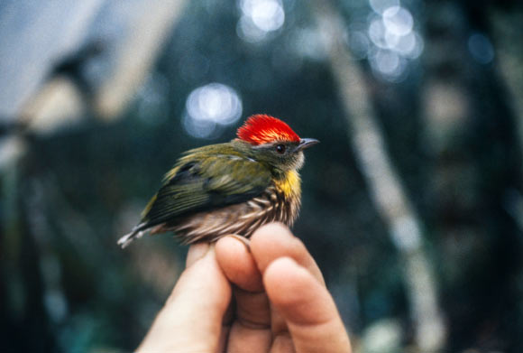Machaeropterus eckelberryi . Image credit: Andy Kratter, Florida Museum of Natural History.