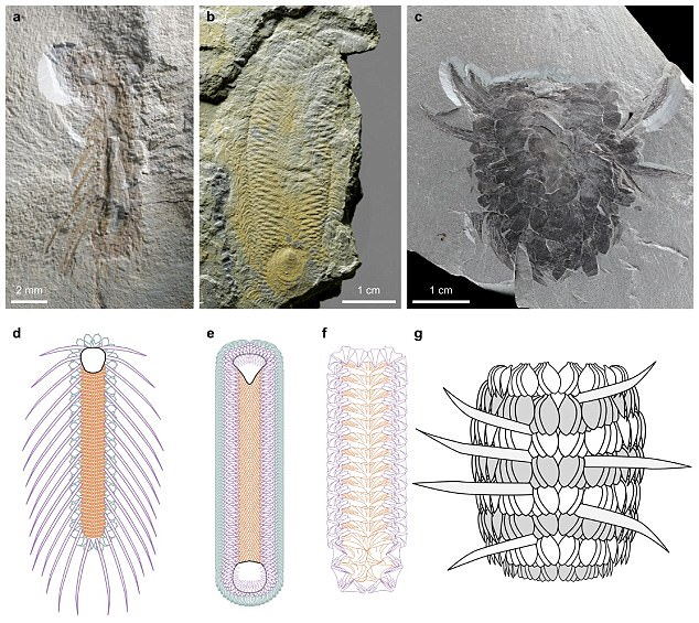 Nanjing Institute of Geology and Palaeontology. Shell-armoured creatures, sclerite-covered taxa, discovered in Chengjiang, Yunnan fossil site. A, b, f, and g are the two new specimens.