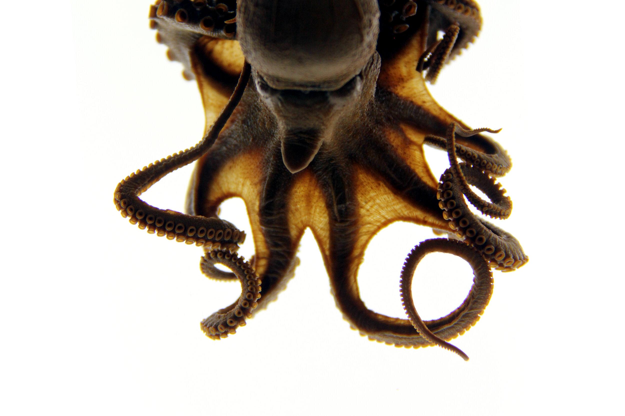 018_Poindexter_Octopus sp M 8672 IMG_3342 edit.jpg