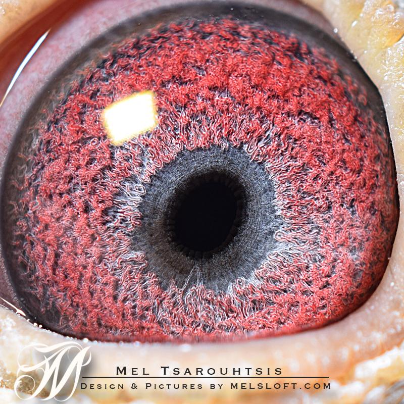 eye of 094 cock.jpg