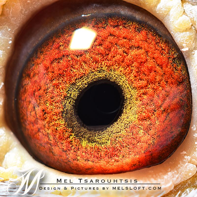 leps magnum eye.jpg