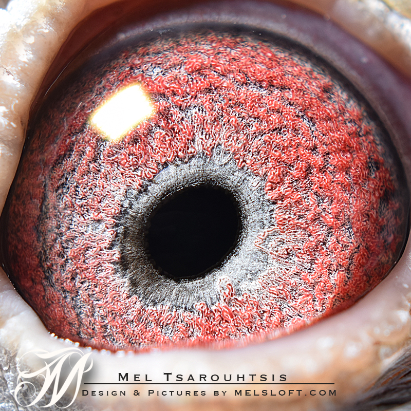 herbots eye 1.jpg
