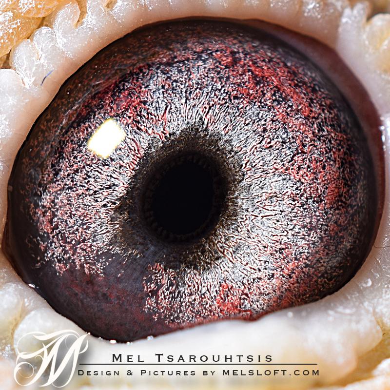 eye of voss lep.jpg