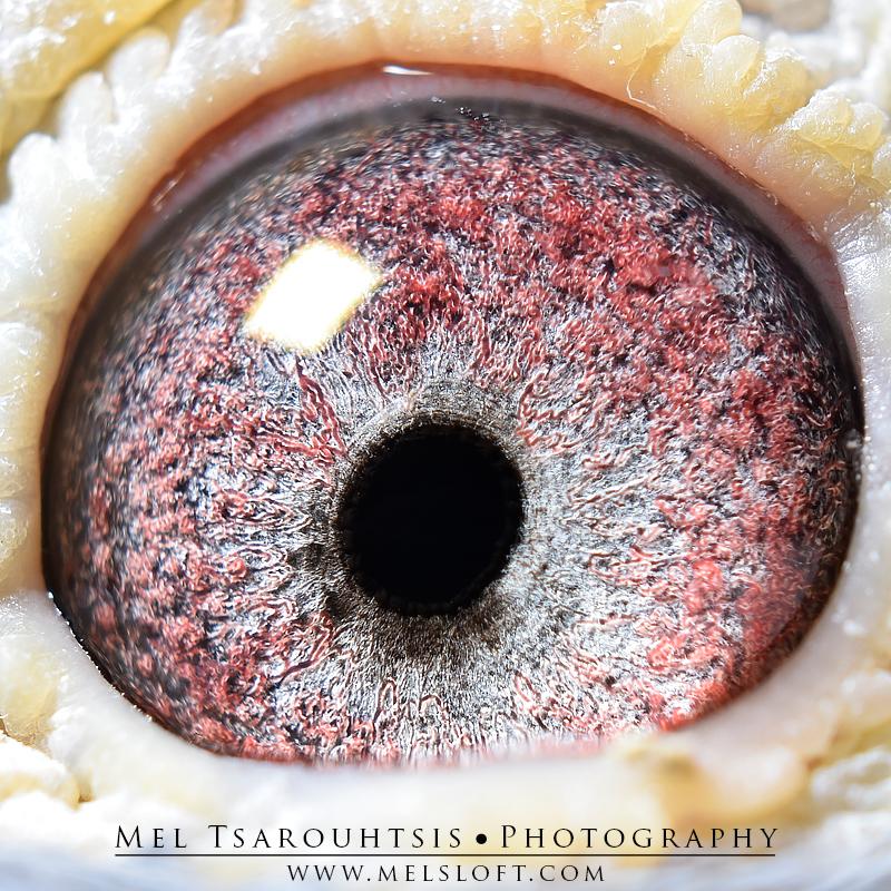 eye of famous 84 dble lep dtr.jpg