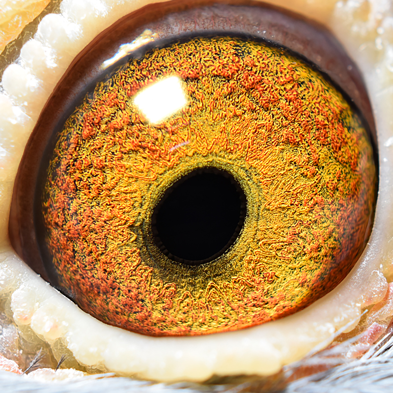 eye of MTFL 34 S hen.jpg