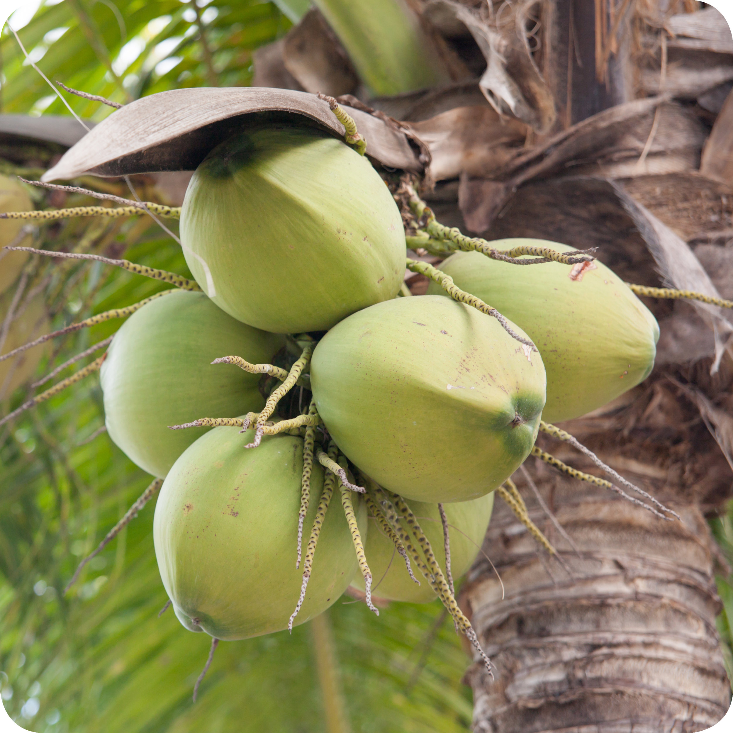 Unharvested coconuts hanging from a coconut palm.