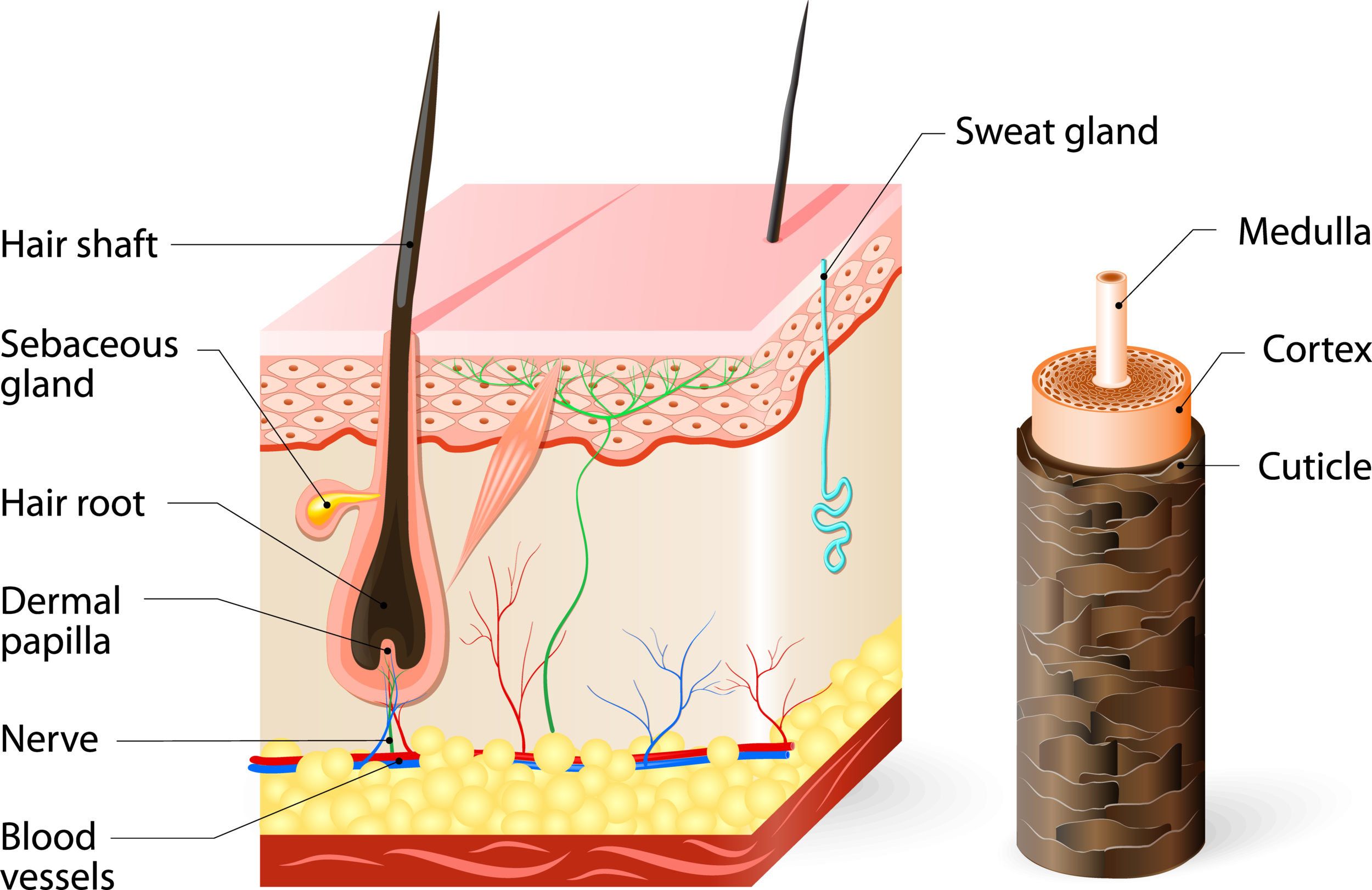 The anatomy of the scalp,hair follicles, and hair. Click image to enlarge.