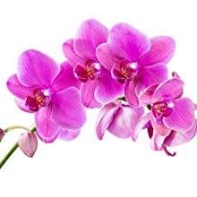 Orchid Stem Cells  Orchid stem cells contain phytochemicals, which effect growth and proliferation of human skin cells to have a rejuvenating, moisturizing and soothing effect.