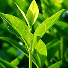 Tea Tree  Derived from a plant native to Australia, its official name is Melaleuca Alternifolia. As the active ingredient, its ability to unclog pores and helps treat the underlying problem that creates thinning hair.