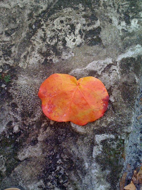 Susan Gabbard-Sea Grape Leaf.jpg