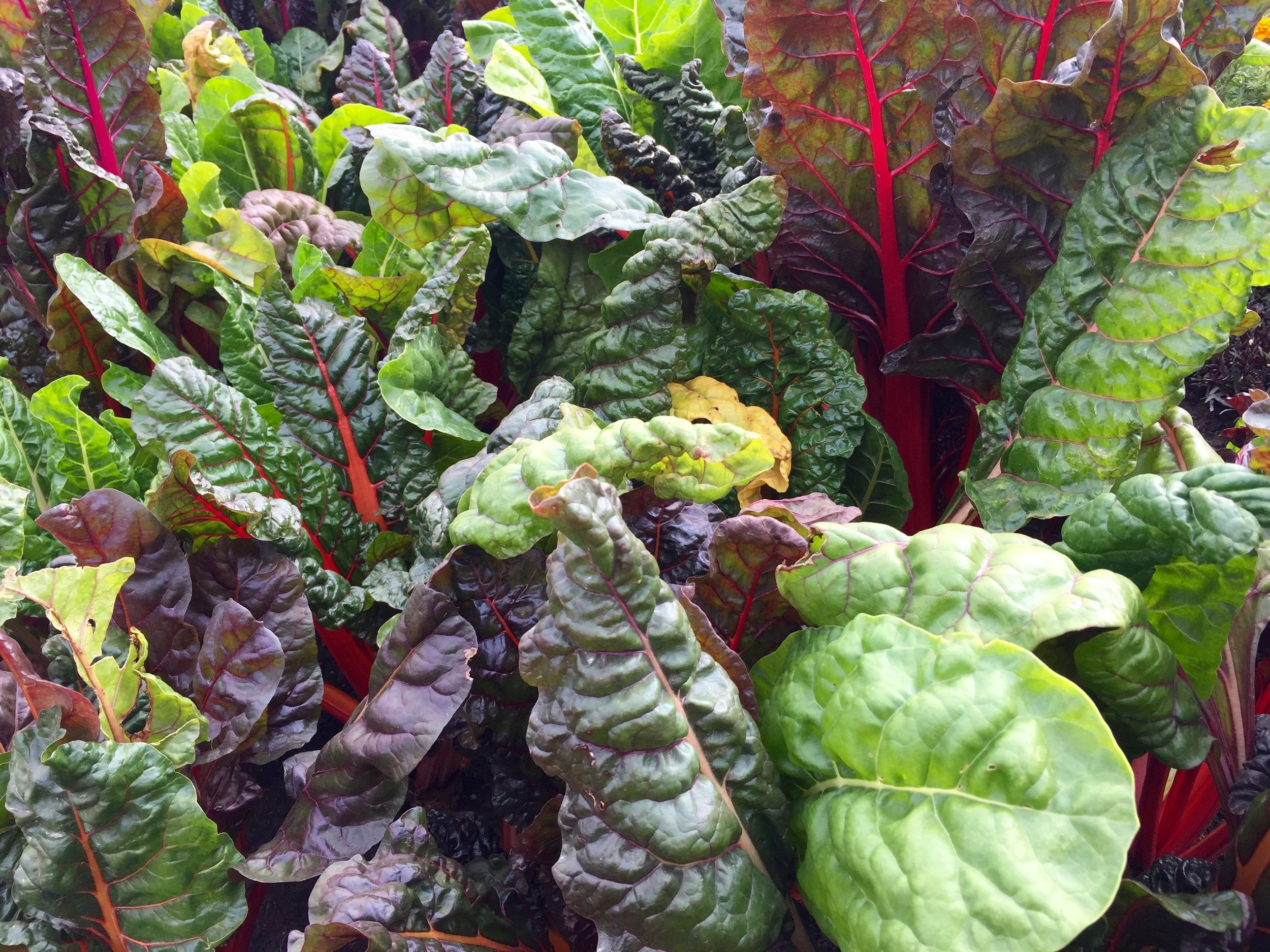 Swiss chard and other leafy greens are loaded with vitamins and minerals our bodies need. Is anyone else craving a salad? ( Pixabay.com photo )