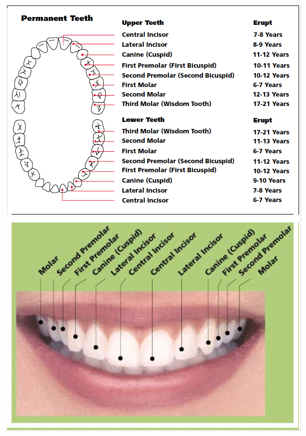 This chart and photograph identify the names of the permanent teeth and provide the approximate ages at which you can expect the teeth to erupt