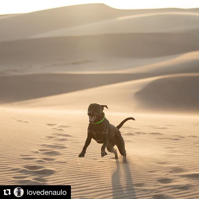 I've never seen a dog smile like Denaulo did at the sand dunes #Nationalpuppyday #Repost #colorado ・・・ Sand, I love sand! So fun, did you know sand is fun? #sanddunes #nationalpark #dogsofinstagram #dogs #lovedenaulo