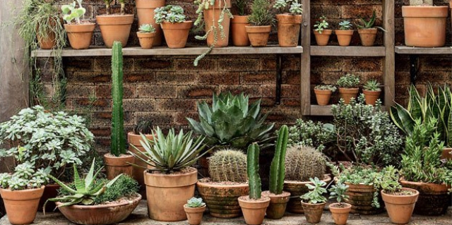 Potted succulents in potting shed.