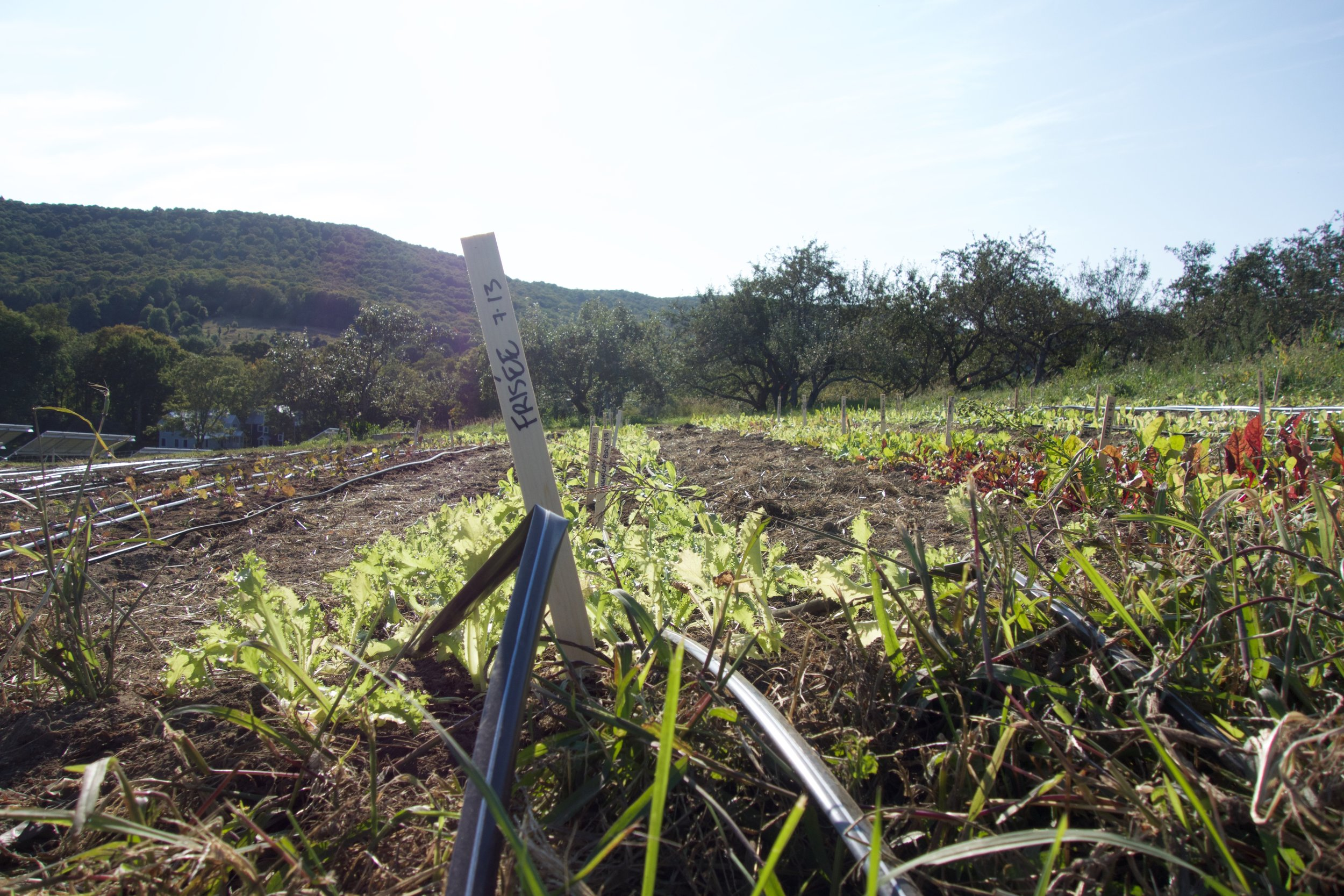 Row of Lettuce; Ariane Desrosiers; Milton Academy