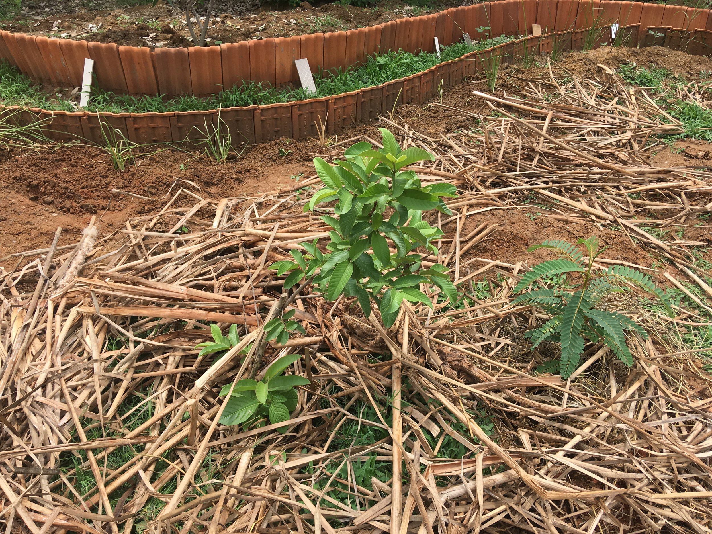 A Guava sapling mulched and planted along with a Sesbania nurse plant at our Jakkur Lake Community Garden project.