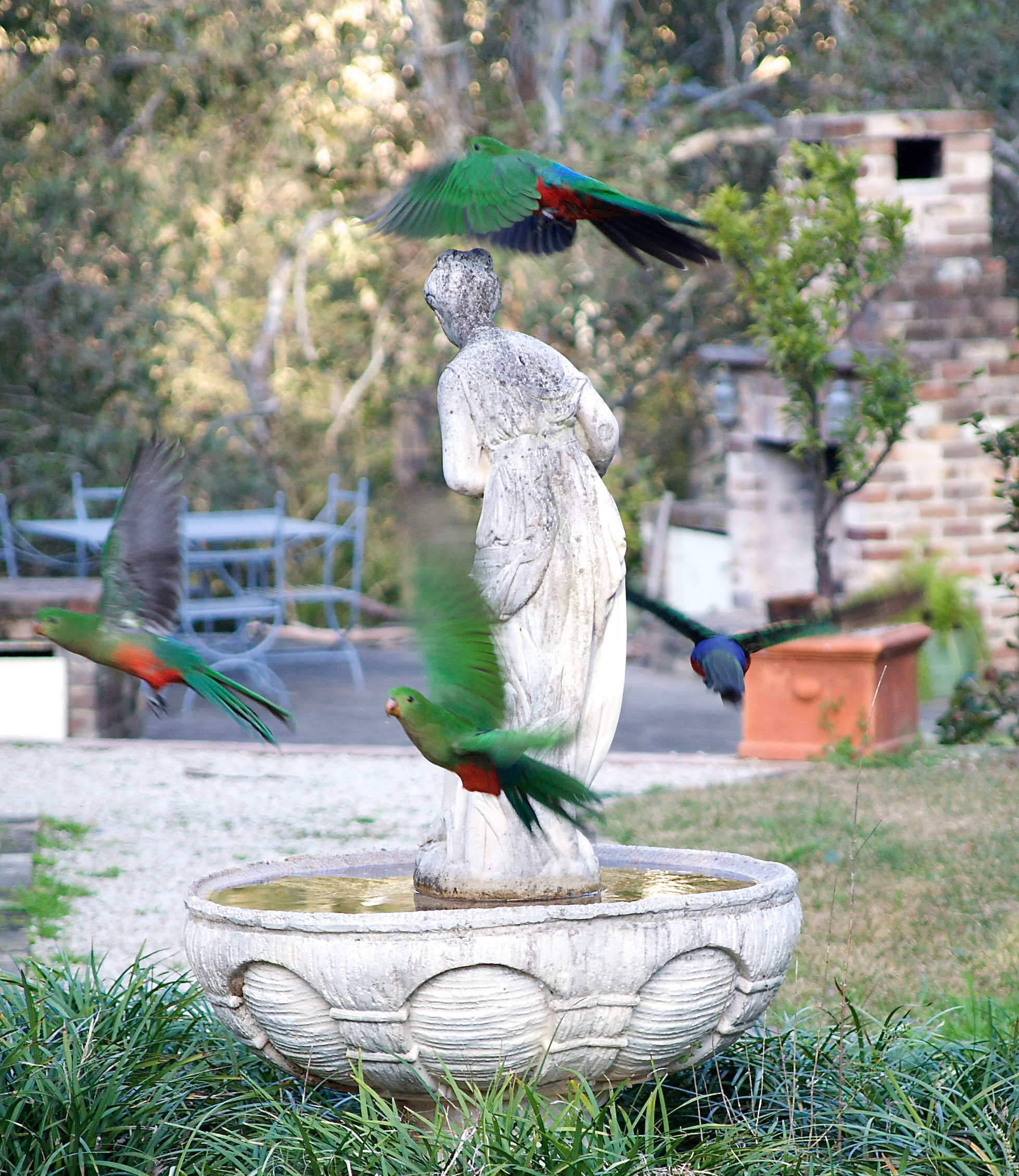king parrots near fountain (1 of 1).jpg
