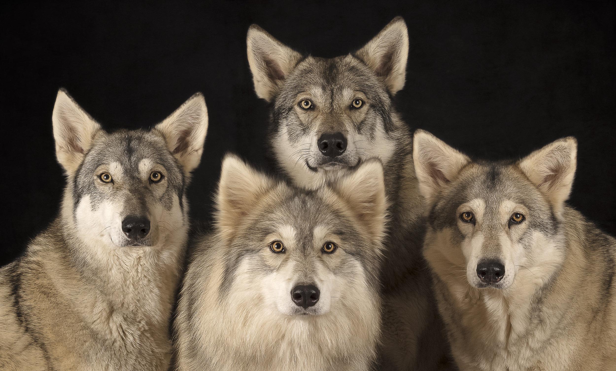 Watermill Wolves Head Shots