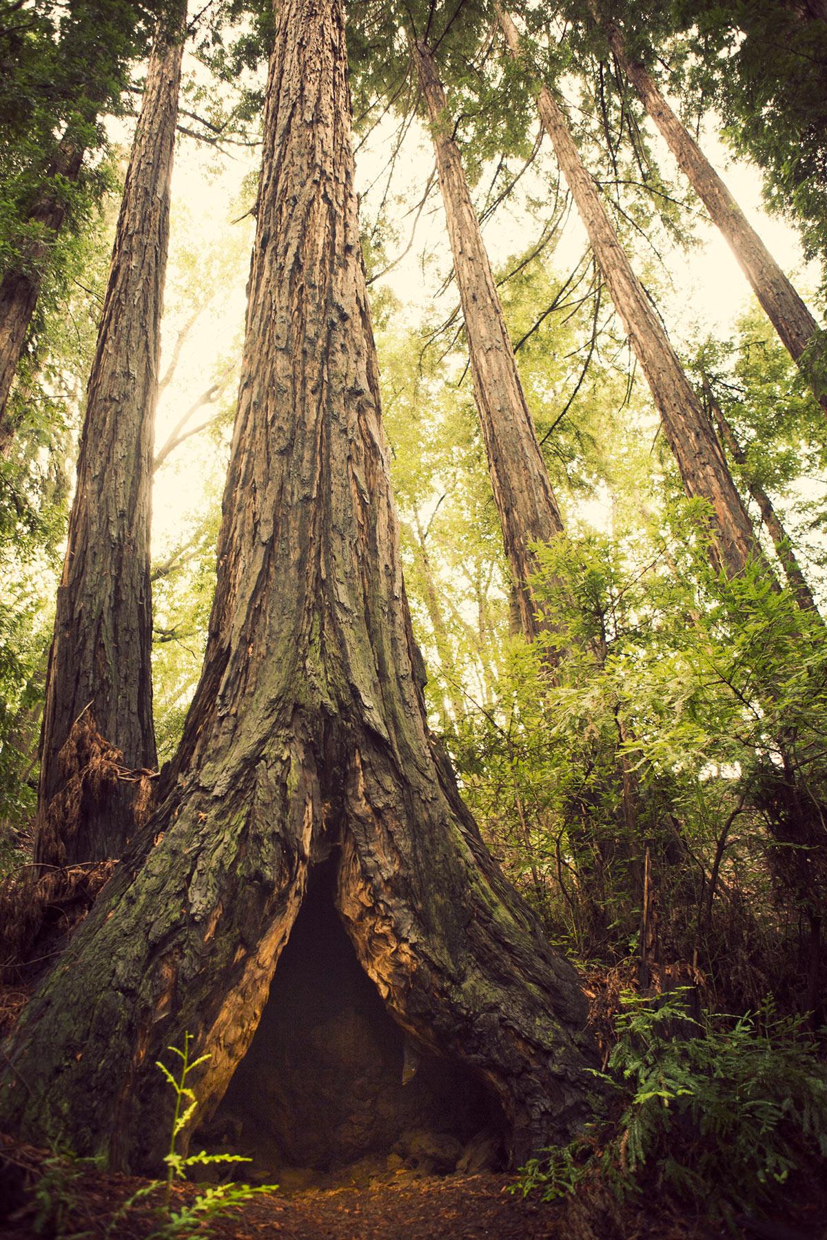 Ventana_Redwoods_Sepia1.jpg