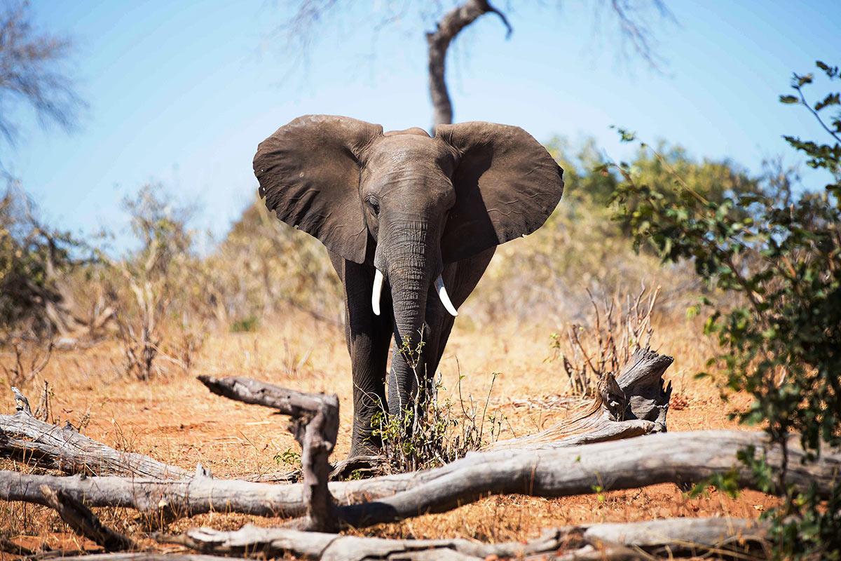 The-Stanley-_-Livingstone_Elephants-(1).jpg