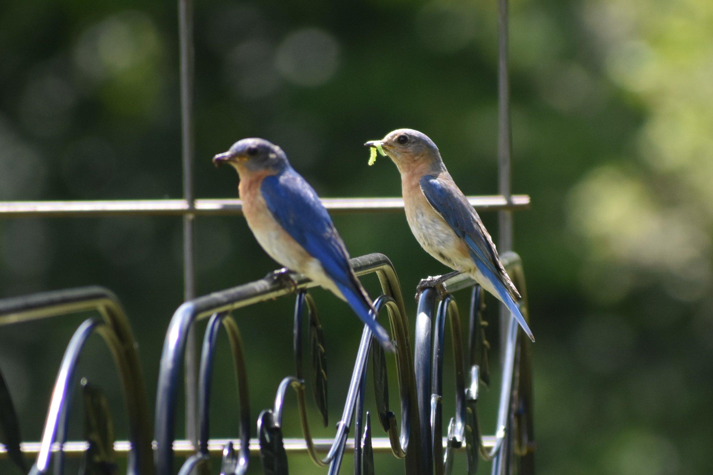 Bluebird nesting pair