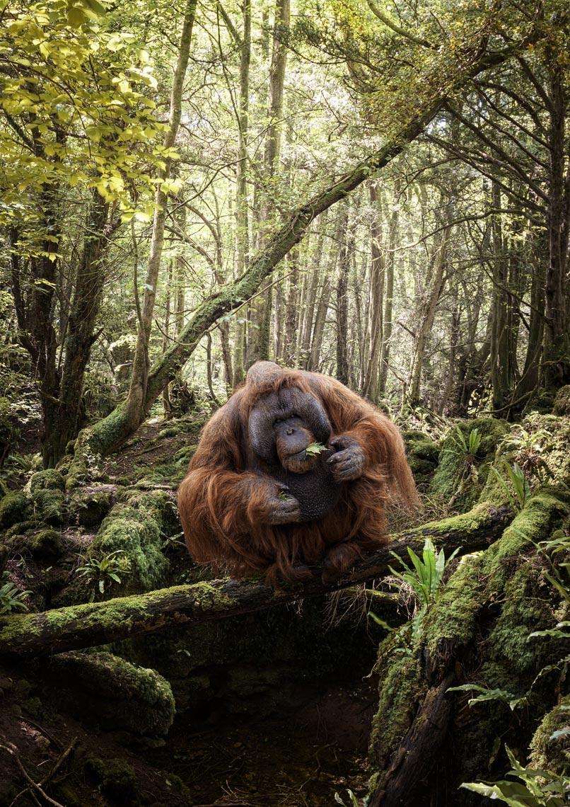 Orangutan Eating Leaves