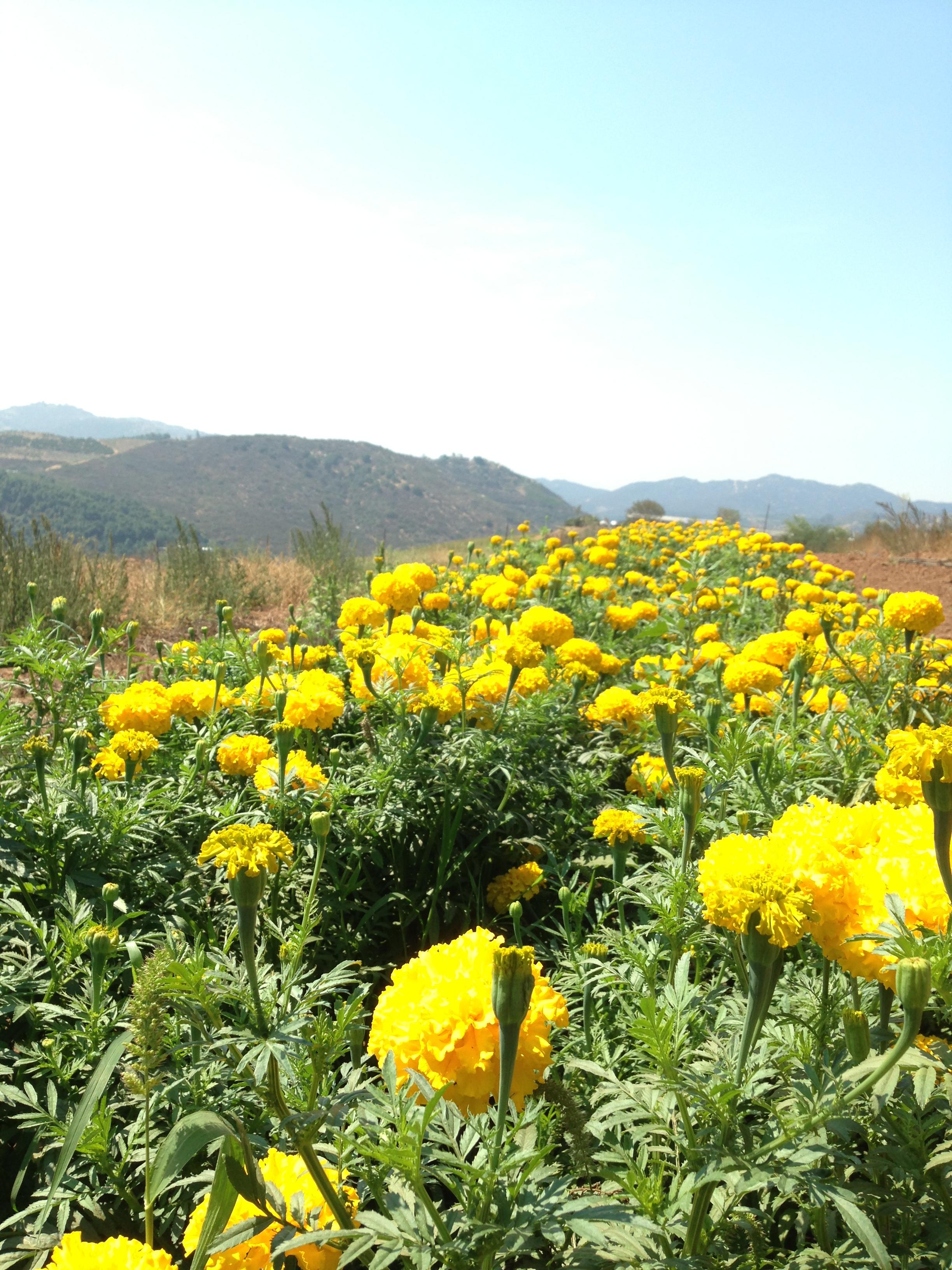 JM-champs-chrysanthèmes.jpg