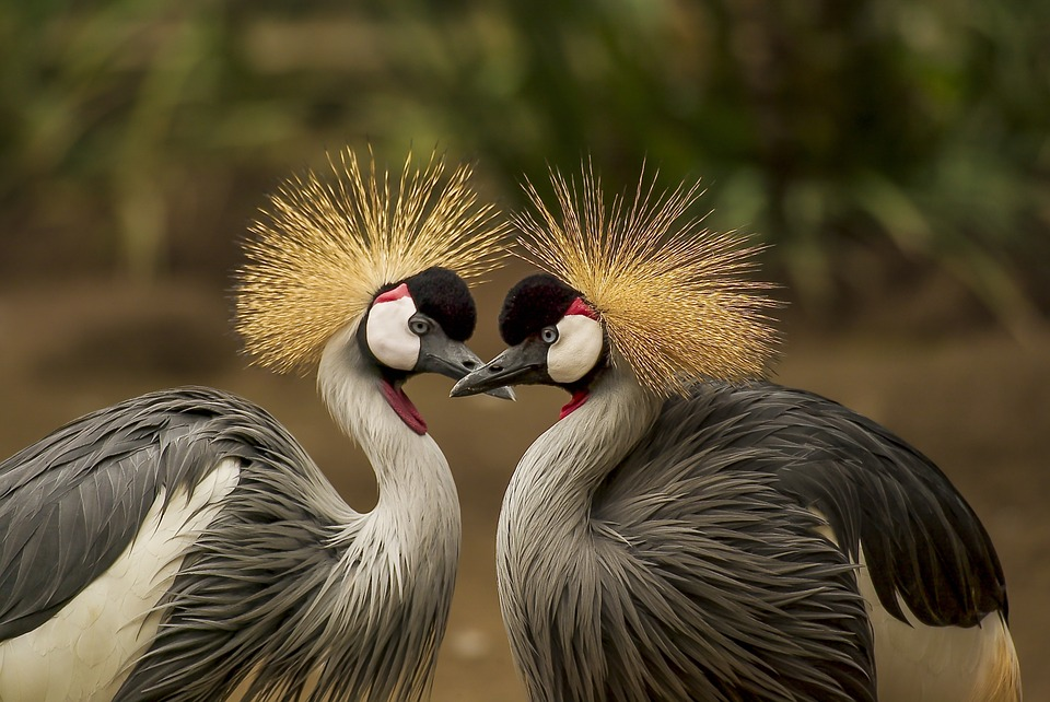 grey-crowned-crane-540657_960_720.jpg