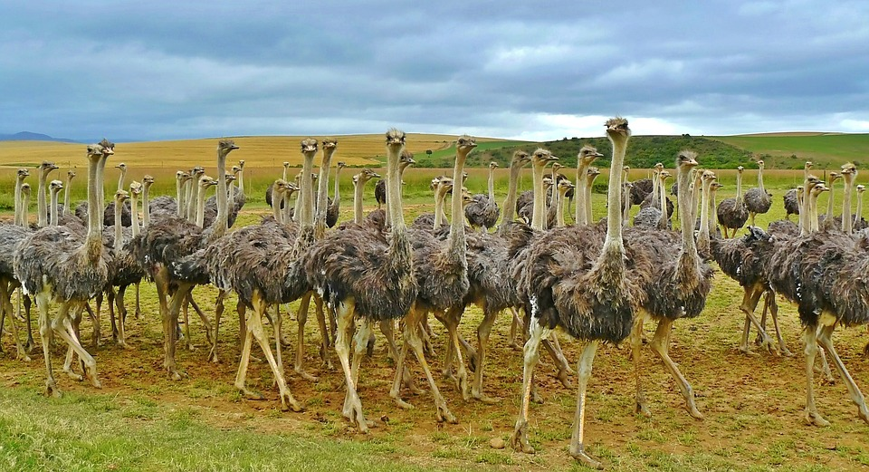 ostriches-838976_960_720.jpg